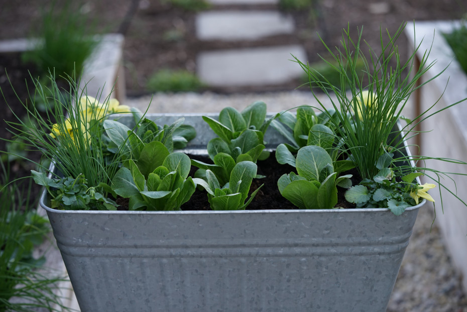 Make a Cut and Come Again Salad Planter with Nicole Burke Author of Kitchen Garden Revival