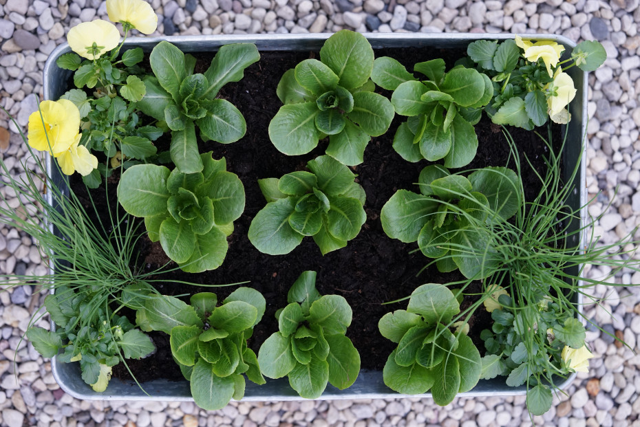 Cut and come again salad planter by Nicole Burke author of Kitchen Garden Revival
