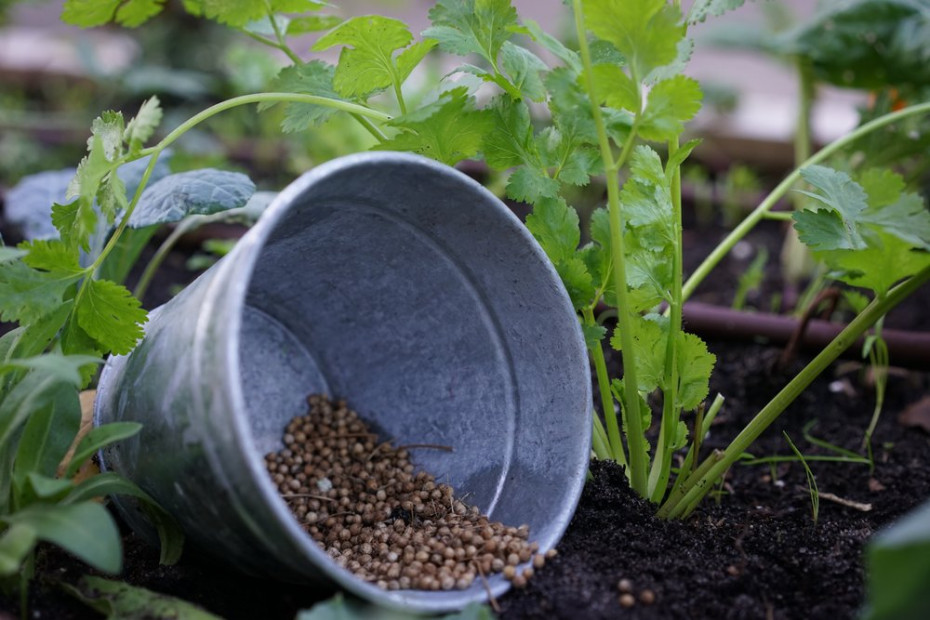 5 Foolproof Ways To Keep Cilantro From Bolting: Pictured are a number of perfectly round, brown cilantro seeds in a galvanized steel bucket lying in the middle of the garden