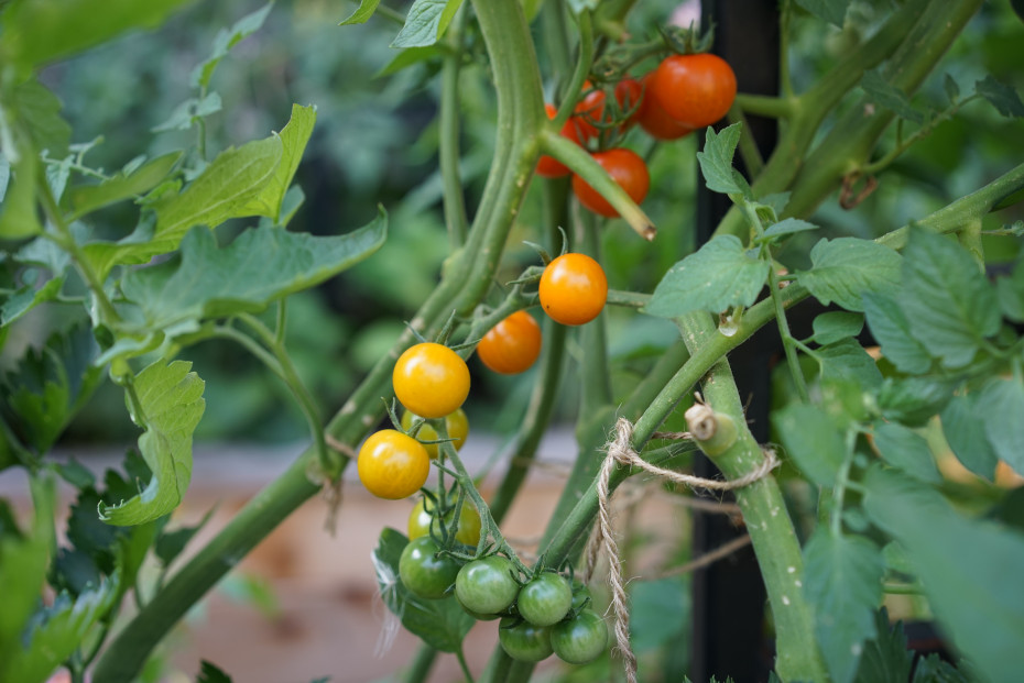 Truth about Tomatoes on the Grow Your Self Podcast with Nicole Burke